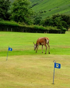 Deer roam Arran's golf courses. Careful, or you might get a hole in one.