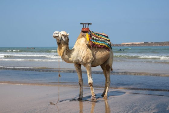 """""""Is this my best side?"""" A camel poses for the paparazzi on Essaouira's beach. Copyright Amy Laughinghouse."""