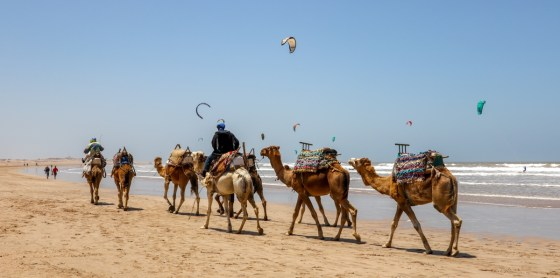 The colorful kites of kite surfers float in a bright blue sky above a herd of camels trekking along Essaouira's sandy beach. Copyright Amy Laughinghouse.