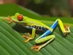 Red eyed frog from wikipedia commons, via Creative Commons