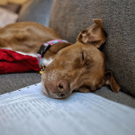 Our puppy, Penny sleeping on my work.