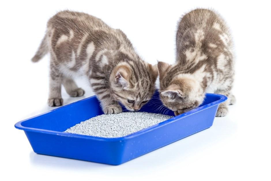 kitten litter box training