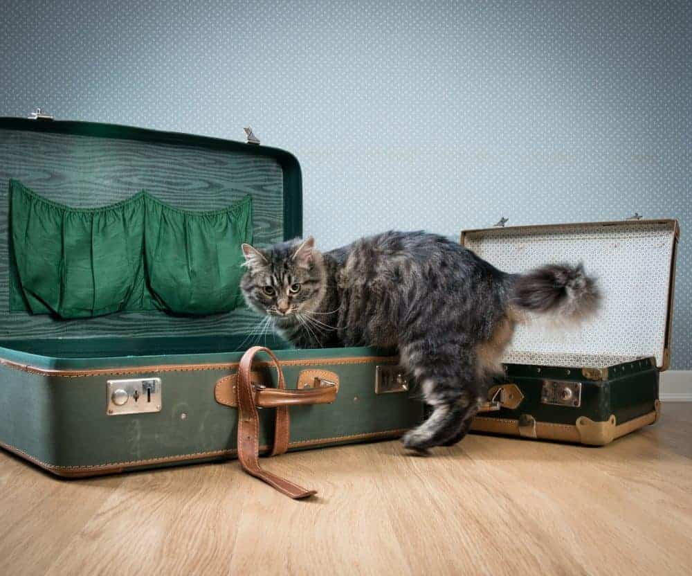 Beautiful cat exploring an old open suitcase on hardwood floor.