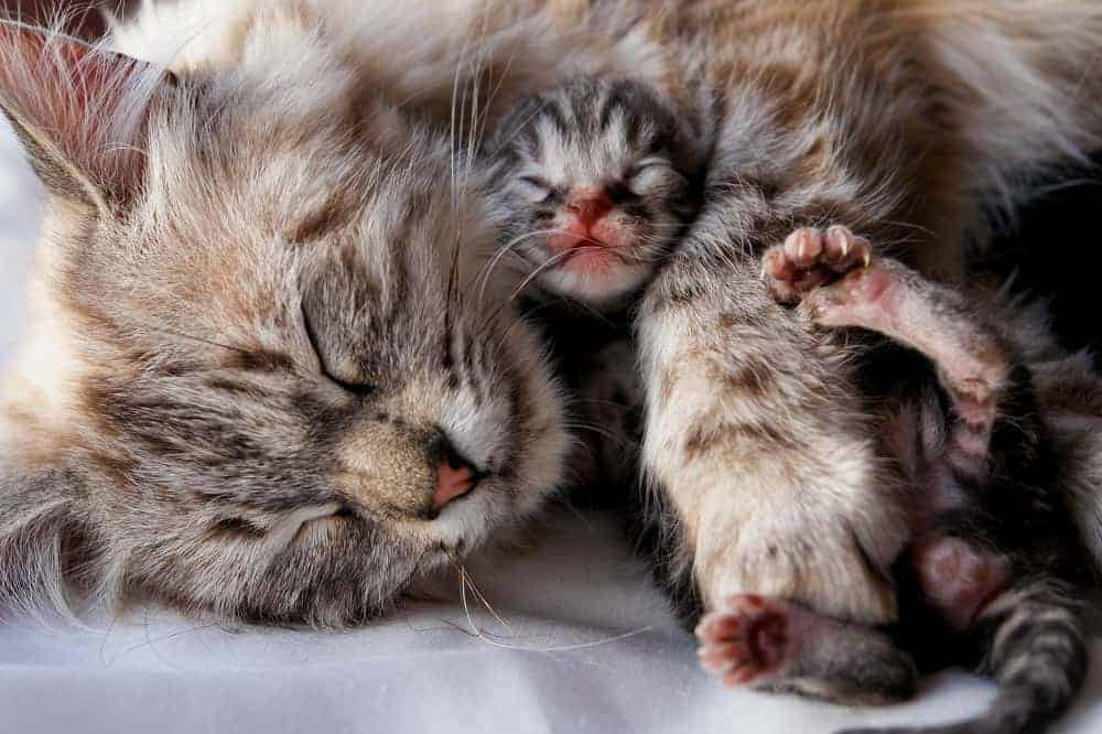 Newborn Kitten Snuggles with Mom cat