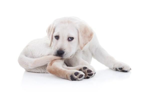 dog tail injury