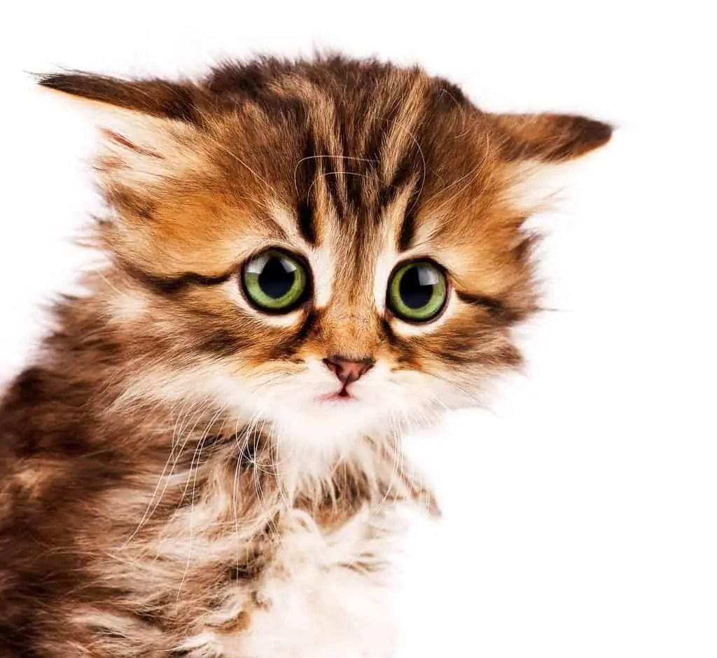 How to Adopt Kittens 10 Kitten Adoption Do s & Dont s