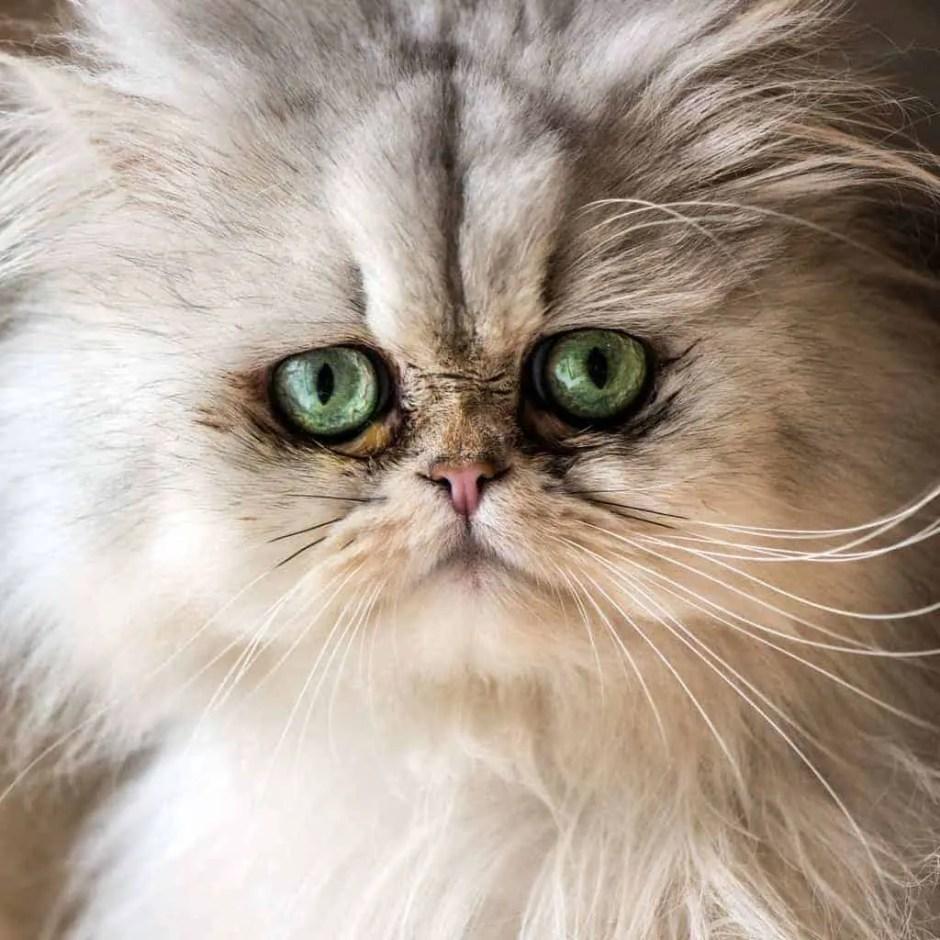 persian cat heatstroke