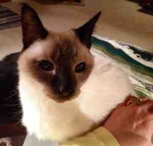 old Siamese cat