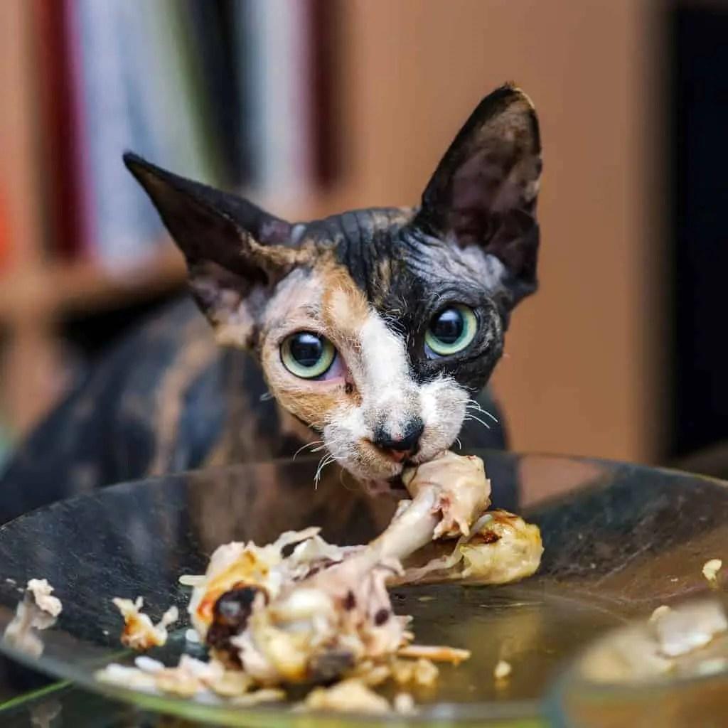 Do Cat Eat Chicken