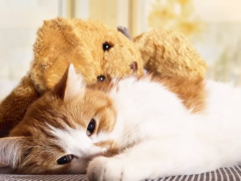 Portrait of yellow sad sick cat lying at home with rabbit toy