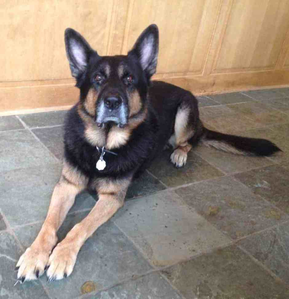 German Shepherd with collar tag for identification.