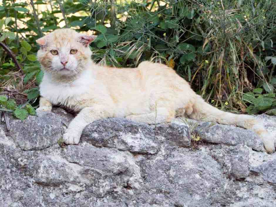 Battle scarred male cat resting on stone wall