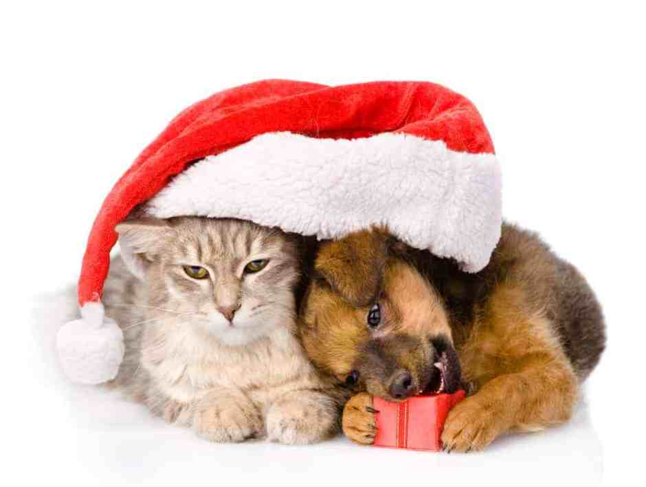 cat and dog with santa hat and red box. isolated on white backgr