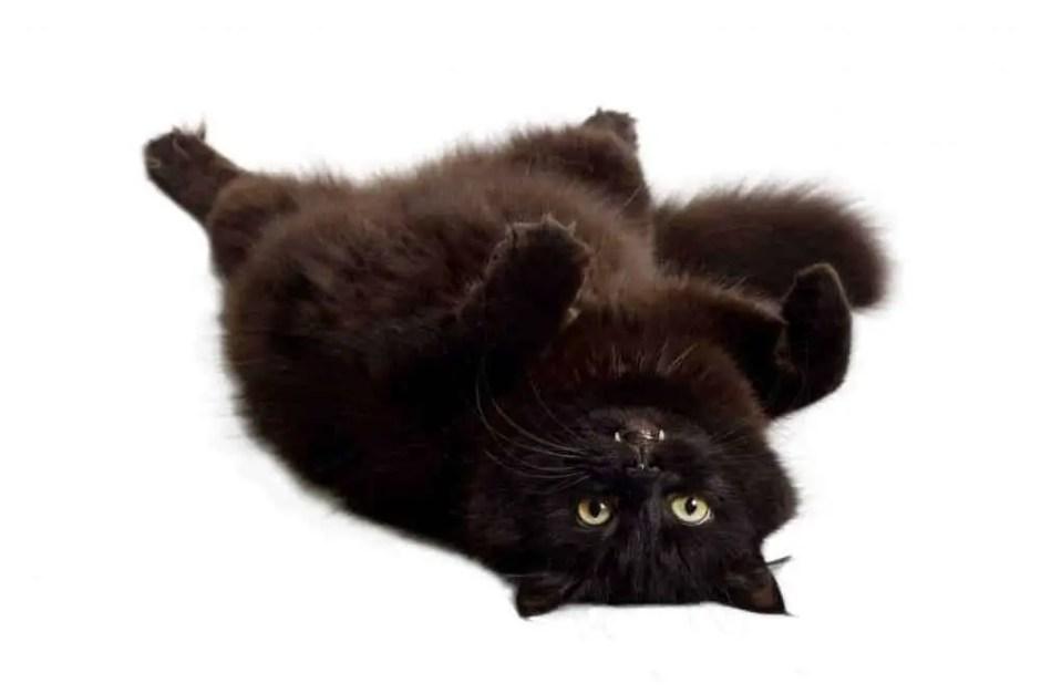 black cat drunk on catnip