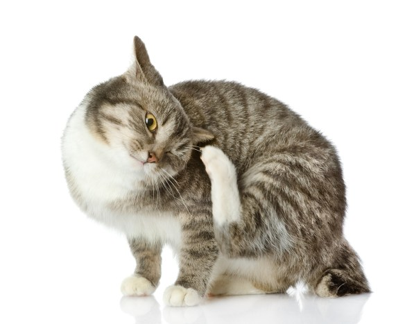 ear mites cause scratching