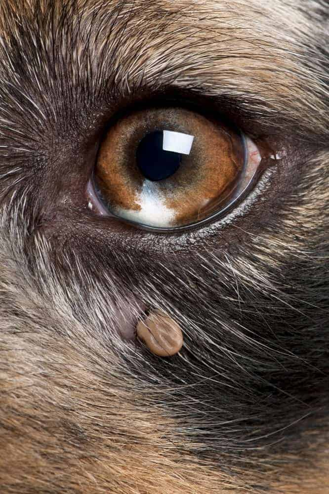 Ticks attach themselves and may be hidden by fur.