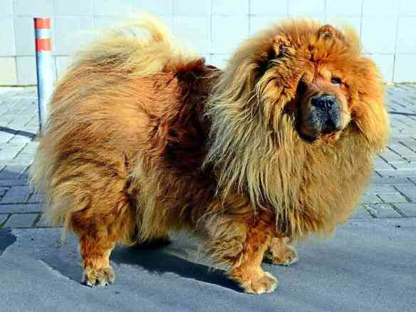 furry chow chow prone to dog hot spots