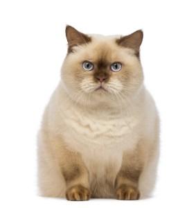 fat cat liver disease