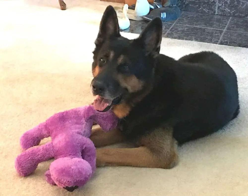 old german shepherd with purple toy