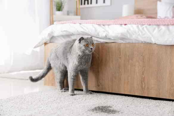 cat soiling