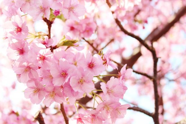 滋賀県の桜の名所は?穴場はどこ?ライトアップはある?