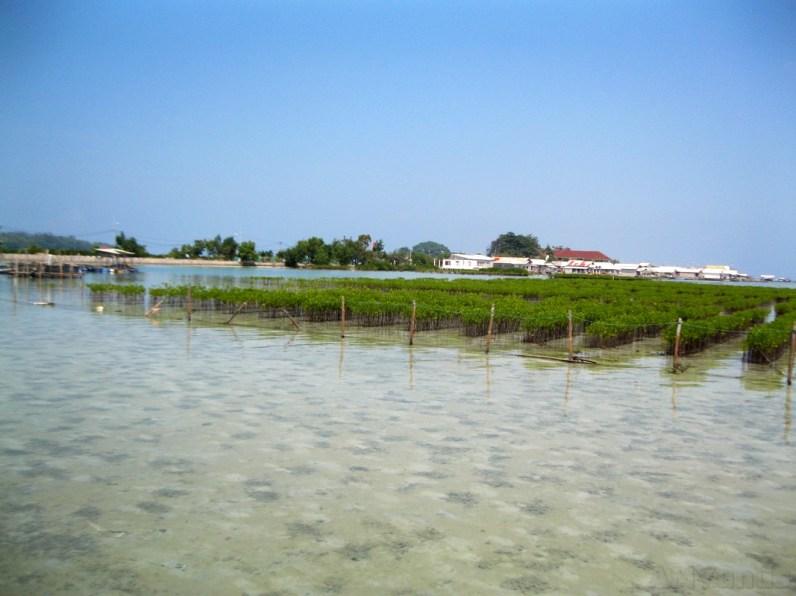 Mangrove Junior