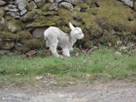 Lamb at St Mary's Loch