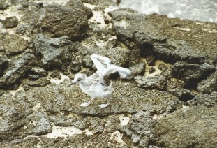Swallow-tailed gull chick