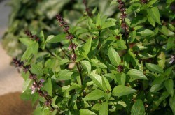 holy basil or tulsi will increase male testosterone levels