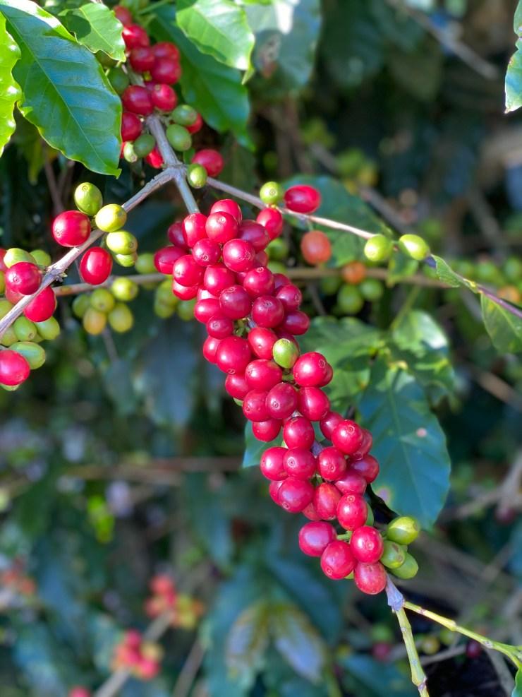 Frutos maduros de café da variedade Bourbon Vermelho