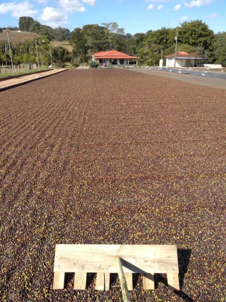 Frutos de café secando em terreiro, secagem natural ao sol