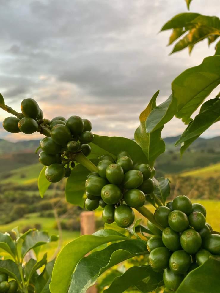 Frutos de café ainda verdes no galho da árvore