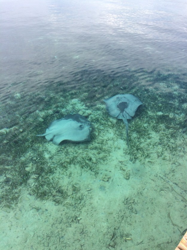 tobacco caye - stingrays