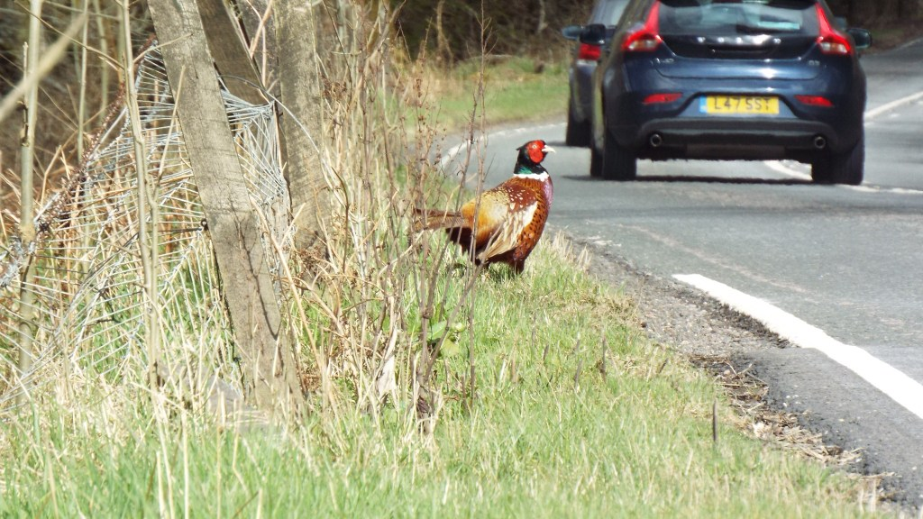 Stopped at Loch Lochy (yep) and watched this fellow attempt to cross the road. First time seeing a pheasant, reminded us of Roald Dahl's Danny the Champion of the World