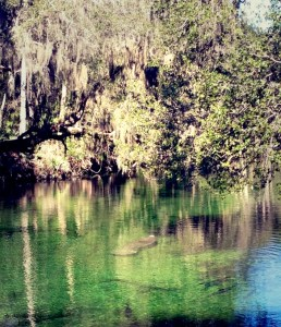 Manatee surfacing for air at Blue Spring State Park
