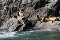 Sea Lions along the coast of Glacier Island