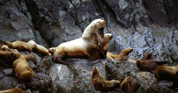 Stellar Sea Lions lounging on the rocks at Bull's head, Glacier Island