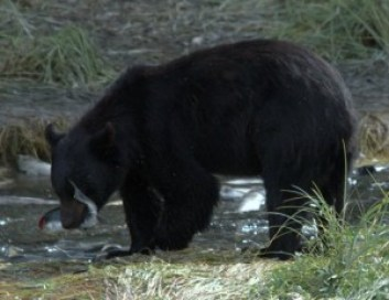 A Black Bear just caught lunch!