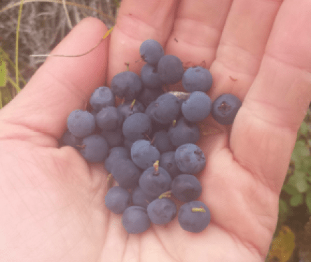 Hand-picked blueberries!