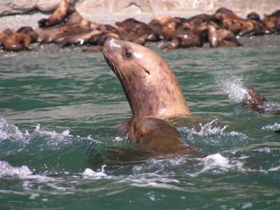 Sea Lion, Glacier Island