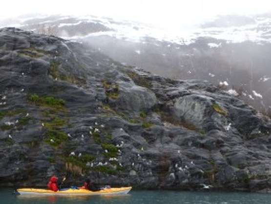 Paddling alongside a large Black-Legged Kittiwake Rookery in Shoup Bay