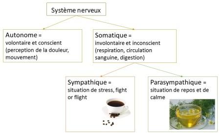 shema-systeme-nerveux