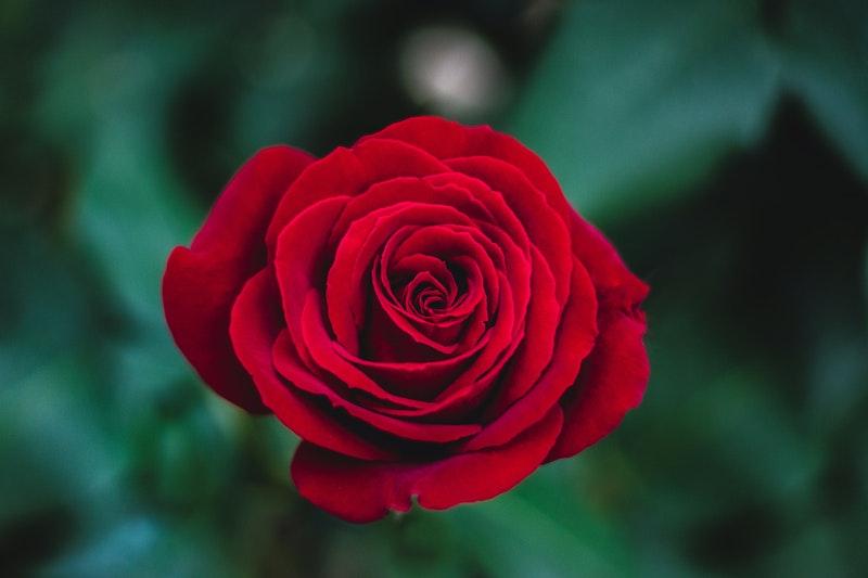 Bunga mawar, sering dijadikan elemen hiasan pernikahan