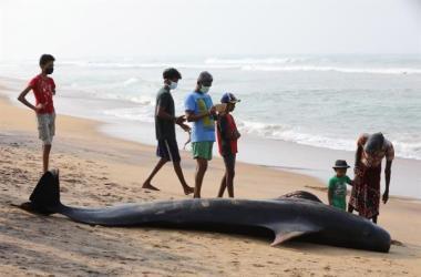 """""""Fuimos capaces de salvar a estos animales porque todo el mundo actuó a tiempo, la operación ha sido un éxito"""", dijo a Efe el portavoz de la Marina esrilanquesa, Indika de Silva."""