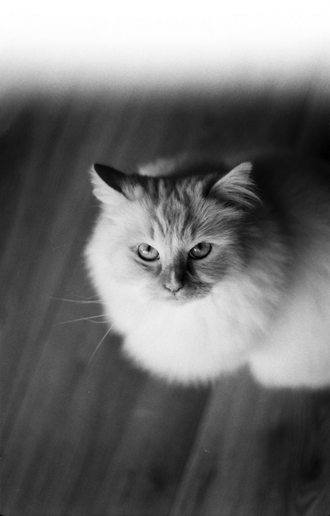 Nuka, analoge kiekjes, analoge fotografie, kat, ragdoll, zwart-wit, lightleak, lichtlek
