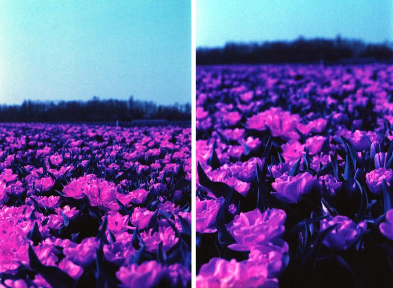 Lomochrome Purple Canon EOS 50E bloemenveld