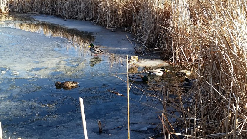 Ducks swimming on a frozen pond