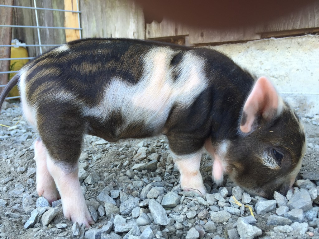 Heritage Pigs @ Anam Cara Farm and Learning Center