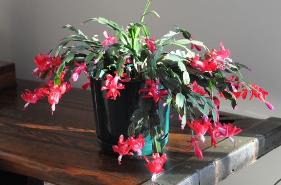 Christmas Cactus for Christmas Decor