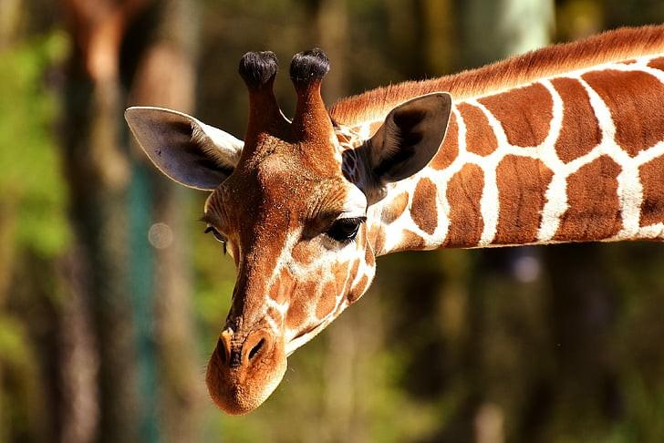 أطول 10 حيوانات قامة في العالم أطول الحيوانات البرية في العالم انا مسافر